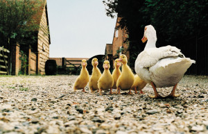 duck with ducklings455065